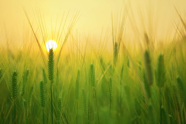 Sonnenaufgang im grün/gelben Weizenfeld